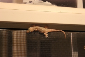 Our gecko housemate. He comes out every warm evening